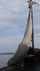 [포토] 포항 앞바다서 길이 11m 대형 고래 발견