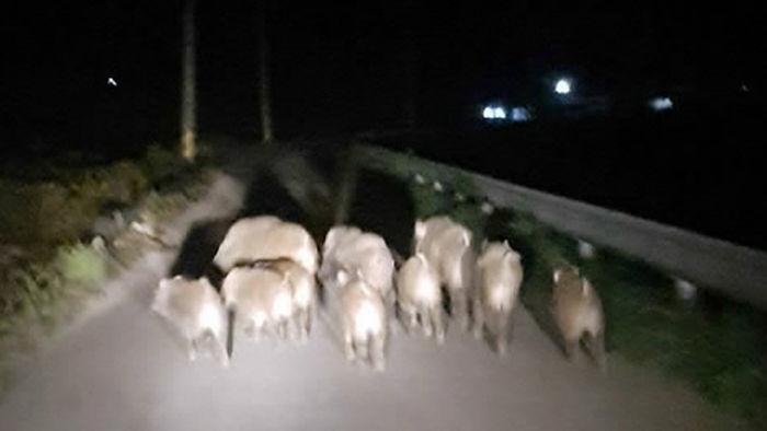기사 대표 이미지:[포토] 속초서 멧돼지 10마리 마을 주변 어슬렁어슬렁