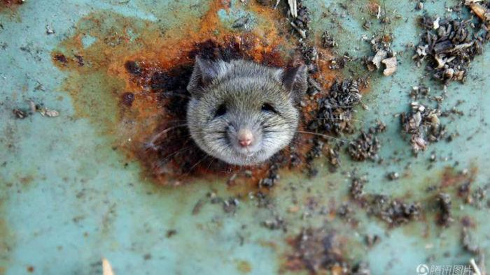 기사 대표 이미지:[뉴스pick] 먹이 찾다 그만…쓰레기통에 머리 낀 생쥐