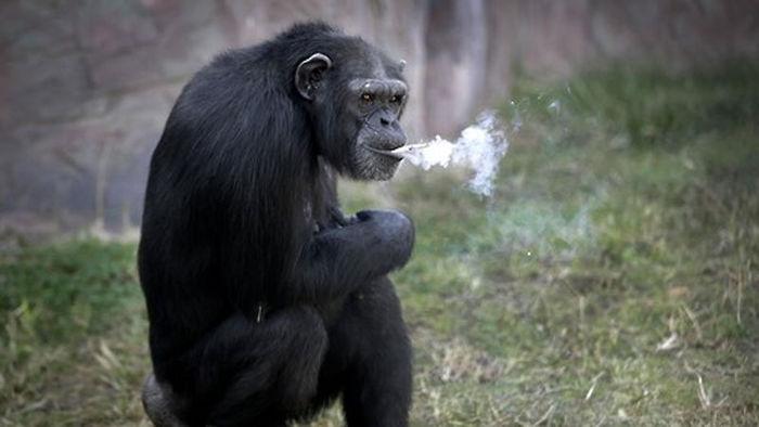 기사 대표 이미지:평양동물원 명물 담배 피우는 침팬지…美동물보호단체 불만