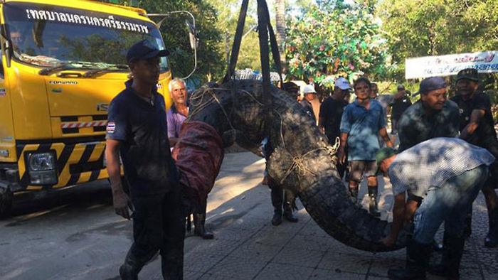기사 대표 이미지:태국 홍수 때 동물원 탈출한 길이 5m 괴물악어 생포