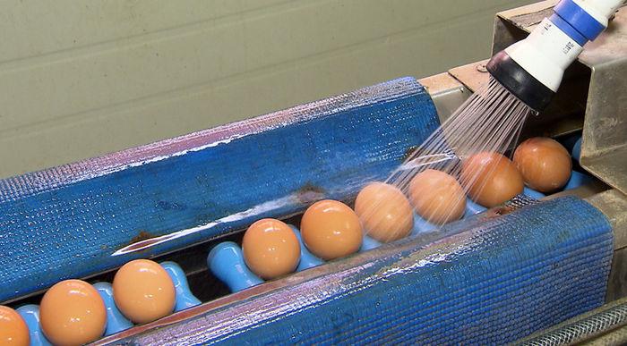달걀 판매 허용했지만 닭은 살처분?