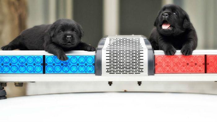 경찰견 훈련 중인 강아지 2