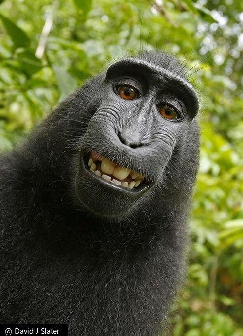 원숭이가 직접 찍은 '셀카' 사진…저작권은 누구에게?