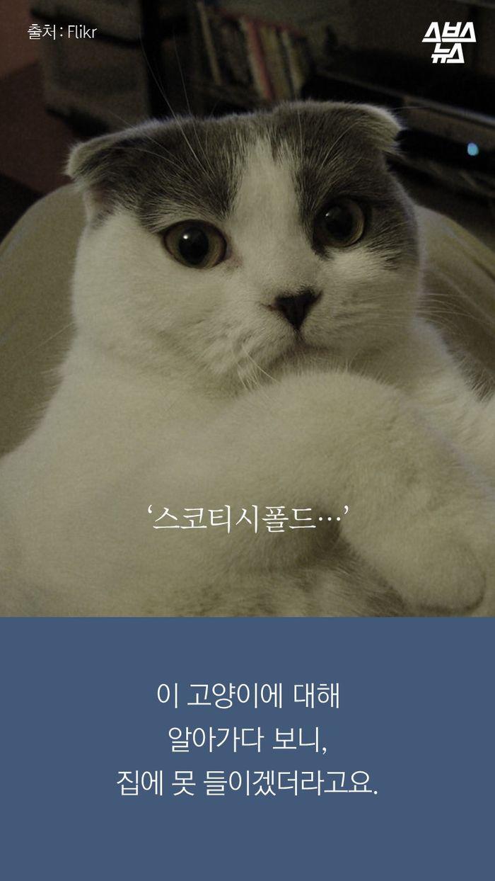'스코티시폴드'  이 고양이에 대해 알아가다보니, 집에 못 들이겠더라고요.