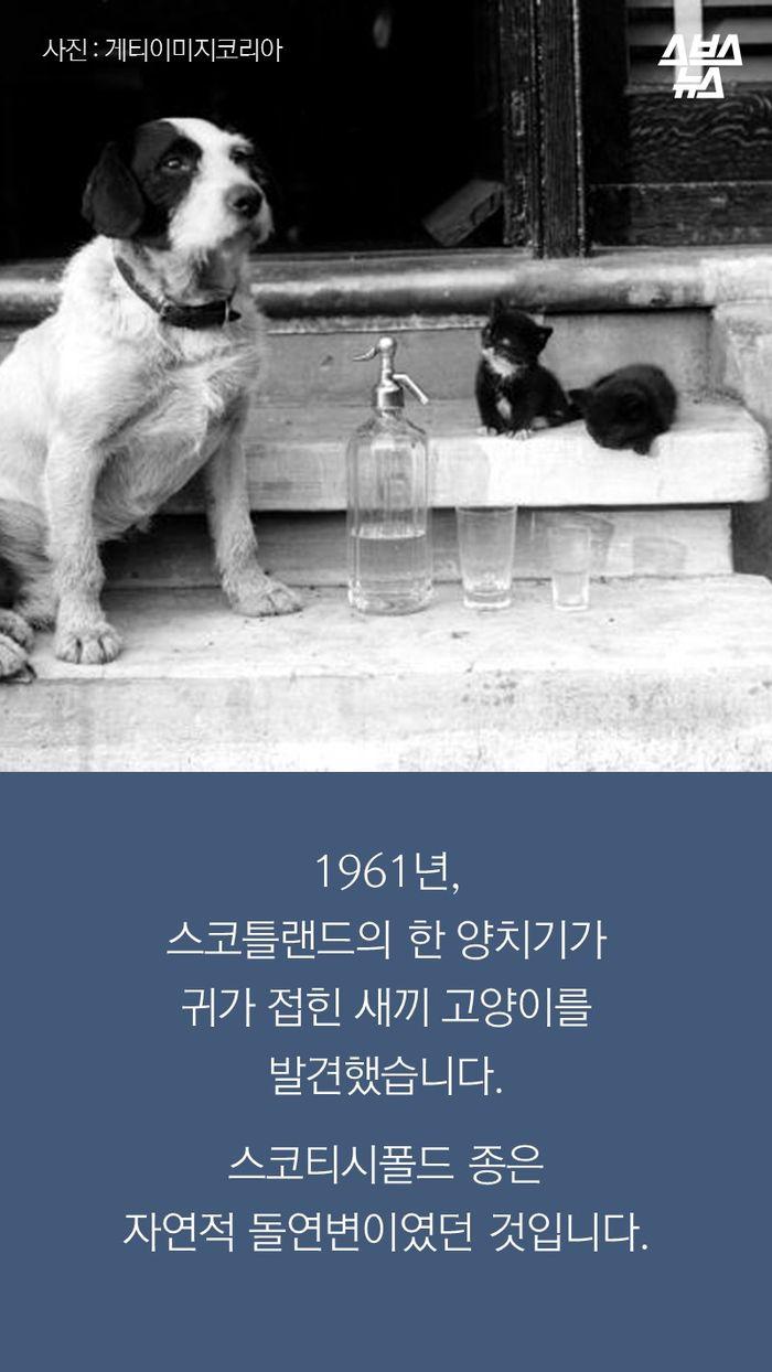 1961년, 스코틀랜드의 한 양치기가 귀가 접힌 새끼 고양이를 발견했습니다.   스코티시폴드 종은  자연적 돌연변이였던 것입니다.