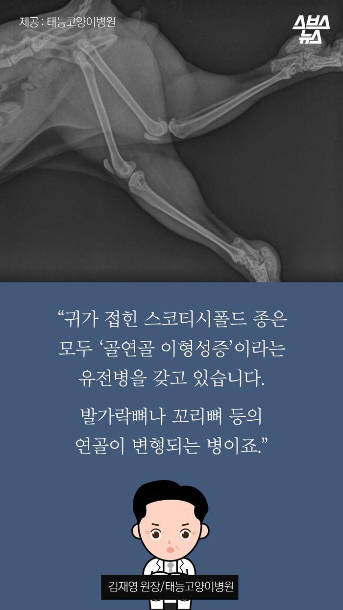 """""""귀가 접힌 스코티시폴드 종은 모두 '골연골 이형성증'이라는 유전병을 갖고 있습니다.  발가락뼈나 꼬리뼈 등의 연골이 변형되는 병이죠."""" -김재영 원장/태능고양이병원"""