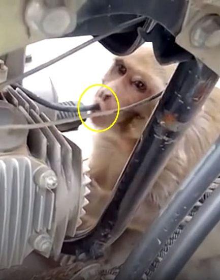 연료관 뜯어 휘발유 먹는 야생 원숭이