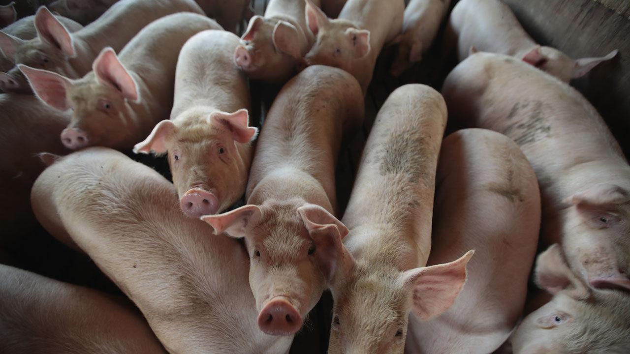 기사 대표 이미지:아프리카돼지열병 중국 전역 확산…돼지고기 가격 급등