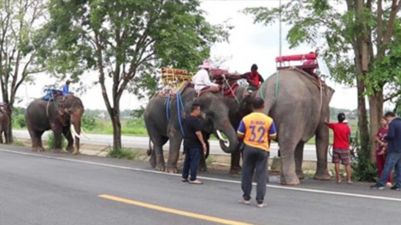 코로나는 관광객들에게 태국 코끼리에게 좋은 소식을 전한다.